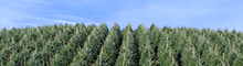 Wholesale Fraser Fir
